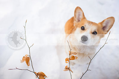 red and white corgi dog staring up from winter snow with leaves