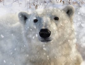 Polar_bear_snowing