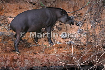 Brazilian (or South American or Lowland) Tapir (Tapirus terrestris) on the bank of the Piquiri River, Northern Pantanal, Mato Grosso, Brazil