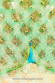 peacock in cage