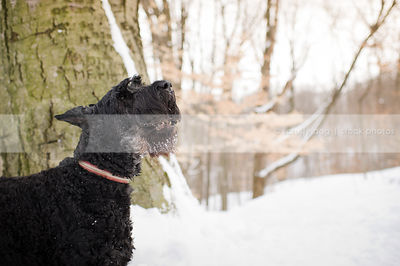 barking black giant schnauzer in winter setting with trees