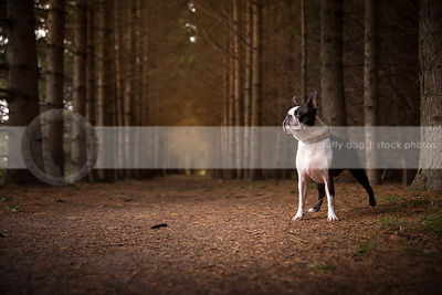 black and white boston terrier dog standing in forest of pine trees