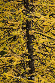 Alpine Larch (aka Subalpine Larch or Lyall's Larch) (Larix lyallii), its deciduous needles golden in autumn, in the high subalpine forest near Hart's Pass, Okanogan National Forest, North Cascade Mountains, Washington State, USA, October, 2008_WA_6473