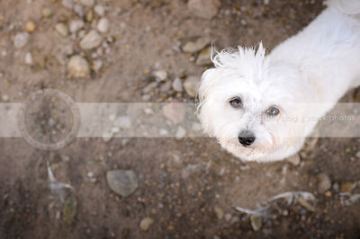 cute little white fluffy dog looking up from sandy beach