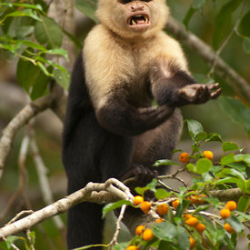 Capuchin (White-Faced) wildlife photos