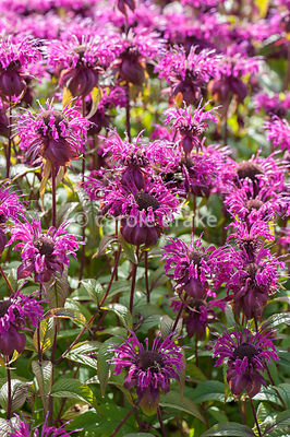 Monarda 'On Parade'. Helmsley Walled Garden, Helmsley, York, North Yorkshire, UK