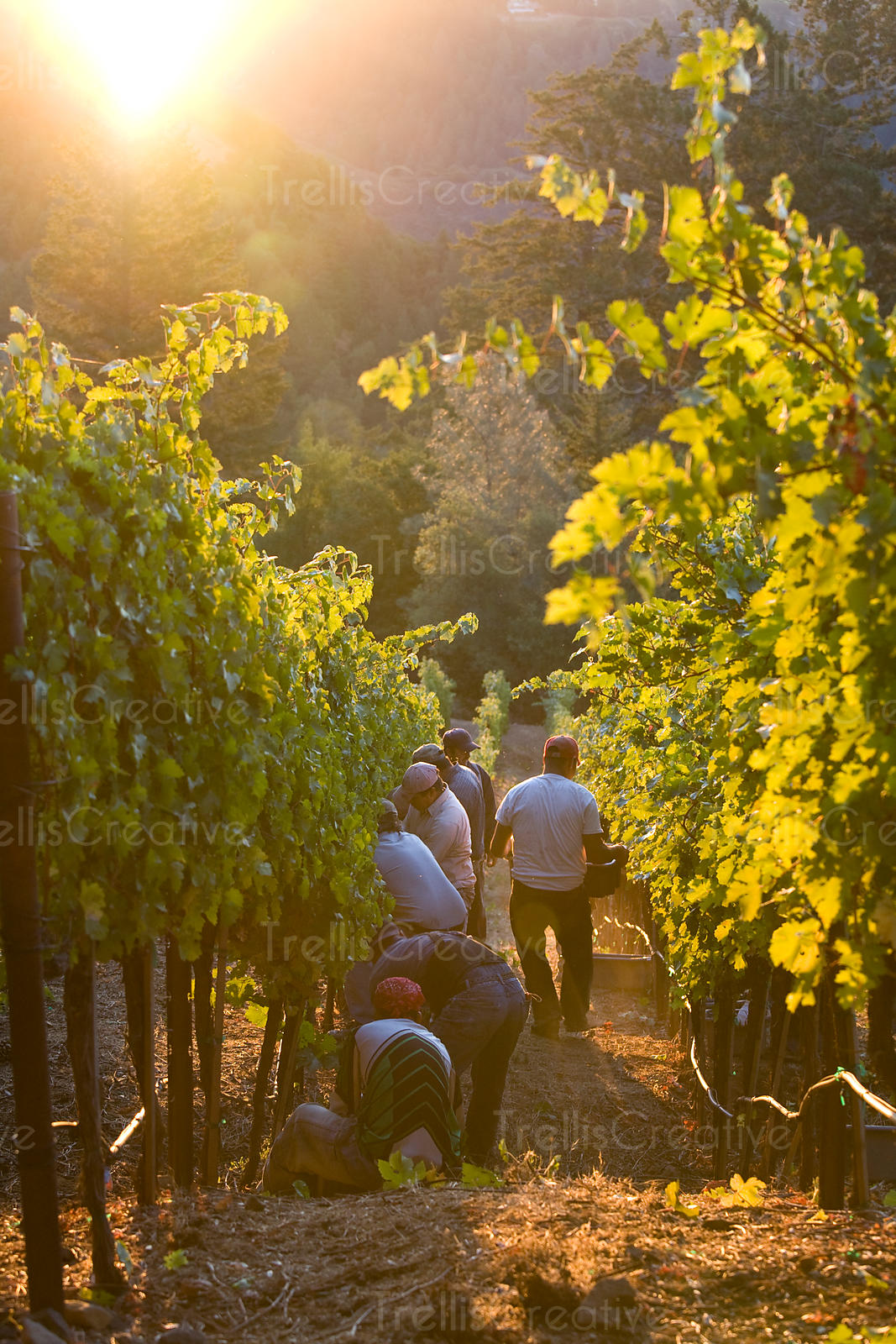 Latino workers harvest grapes on a steep mountain vineyard at sunrise