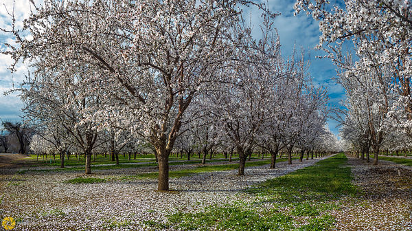 Almonds in Bloom near Durham #14