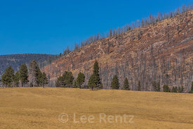 Fire-killed Trees in Valles Caldera National Preserve
