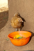 Domestic chicken eating fruit from a bowl, Kenya.