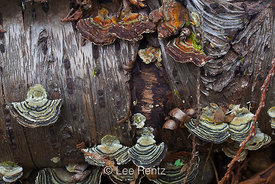 Turkey Tail Fungus in Seattle Arboretum