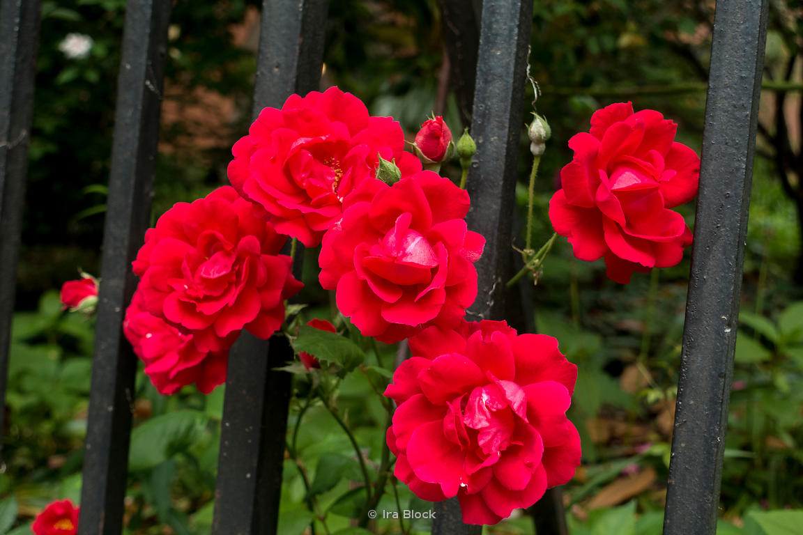 A bunch of red roses in bloom in Manhattan, New York City.