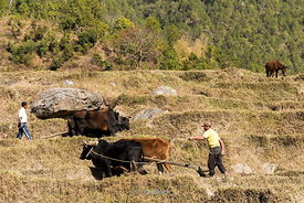 Men plowing terraced fields with oxen in Punakha, Bhutan.