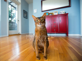 Abyssinian cat in contemporary home entry way