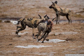 Wild Dog at Savuti waterhole
