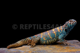 Ornate spiny-tailed lizard (Uromastyx ornata ornata)