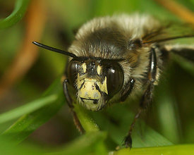 Anthophora plumipes, male