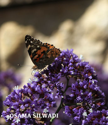 Butterflies of Palestine