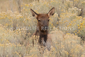 cow_elk_in_rabbitbrush