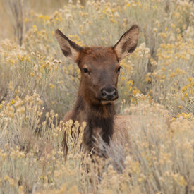 Elk wildlife photos