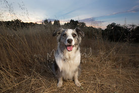 smiling-australian-shepherd-dog-sitting-in-field-at-dusk-stock-photo