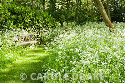 Woodland garden is frothy with cow parsley and long grass in late spring. Earlier in the year the ground is carpeted with naturalized daffodils and narcissi. Beechenwood Farm, Odiham, Hants, UK