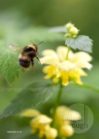 Bombus pratorum and the Archangel