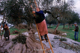 People gathering olives