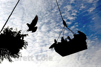 Pigeons visit a communally stocked feeder at a market in Pushkar, Rajasthan, India