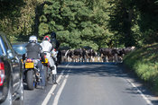 Dairy cattle crossing a main road on way to milking holding up traffic. North Yorkshire, UK.