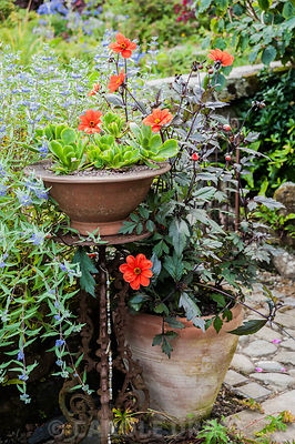 Pot of succulents in the front garden surrounded by dahlia and blue caryopteris. Dyffryn Fernant, Fishguard, Pembrokeshire, Wales, UK