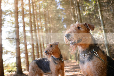 two bearded airedale dogs standing in sparkly pine trees