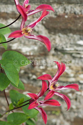 Clematis 'Gravetye Beauty'. The Cider House, Buckland Abbey, Yelverton, Devon, UK