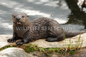 River Otter Pup Little Teeth 2