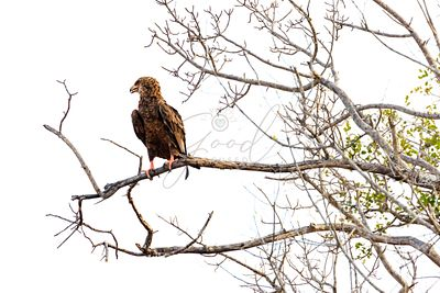Bateleur Eagle on Branch - Isolated