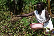 Woman dusting crop with organic pesticide and fertiliser ( Chillie ) Uganda Africa