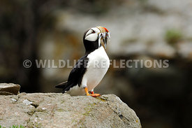 Horned Puffin Mouthful Fish 11