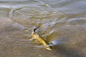 Brown trout being reeled in by angler
