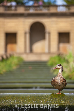Duck at Meridian Hill Park