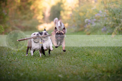 three small dogs running together with big stick