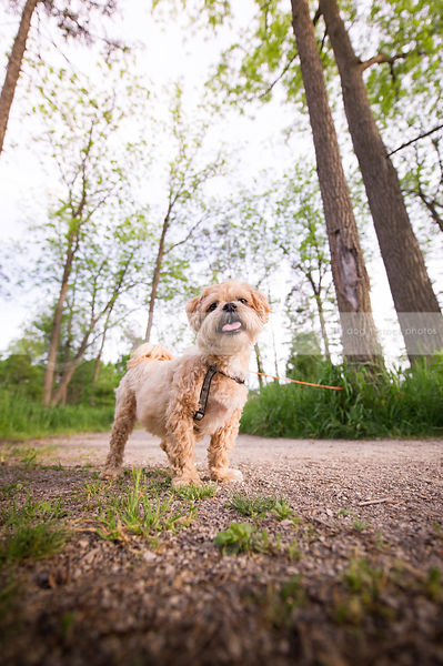 cute small tan lhasa apso dog standing on path with trees