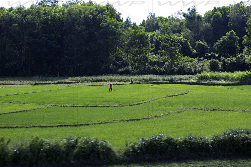 Rice culture and field