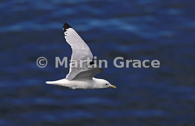 Adult Black-Legged Kittiwake (Rissa tridactyla) in flight over a very blue sea, Hafnarholmi, Austurland (Eastern Region, East Iceland), Iceland