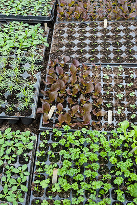Seed trays full of seedlings. Clovelly Court, Bideford, Devon, UK