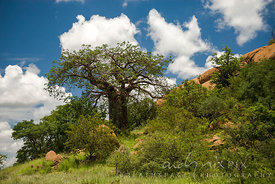 A baobab next to a rock outcrop, white clouds in blue sky