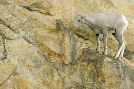 July - Bighorn Sheep