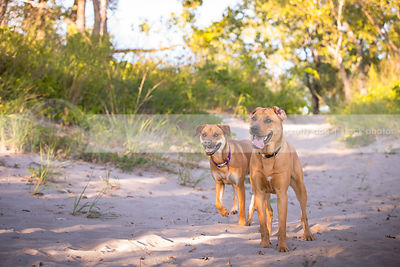 two cross breed dogs walking together in sand