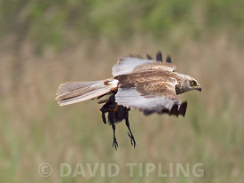 Western Marsh Harrier Circus aeruginosus carrying a young Moorhen Minsmere Suffolk June