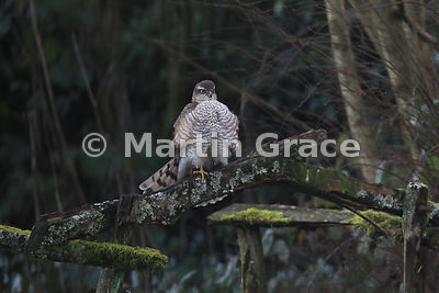 A fluffed-out juvenile male Eurasian Sparrowhawk (Accipiter nisus) sits on the back of an old moss-covered garden seat, Lake District National Park, Cumbria, England
