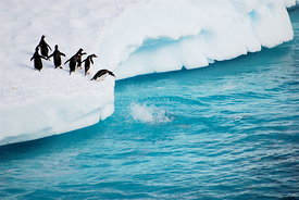 Gentoo penguins splash